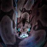 Blue eyed rattlesnake