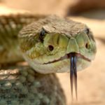 Rattlesnake head with forked tongue